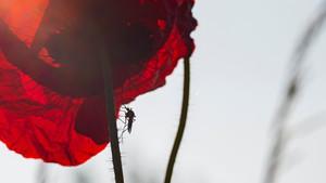 Mosquito-Borne Diseases in Australia