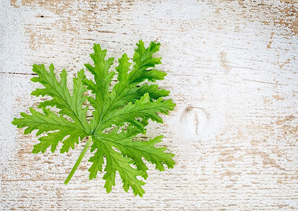 Citronella Plant used in MosQuit bands,
