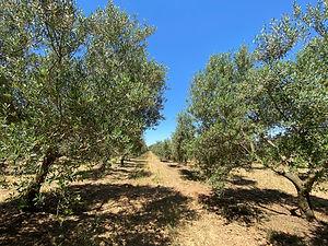 Le moulin de Fabi oliviers.jpg