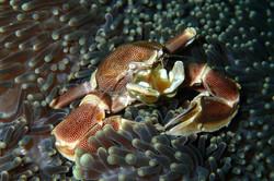 Crabe Porcelaine