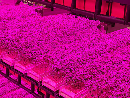 Microgreens - LED vs T5