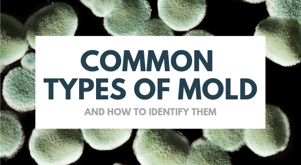 Common Types of Mold and How to Identify Them