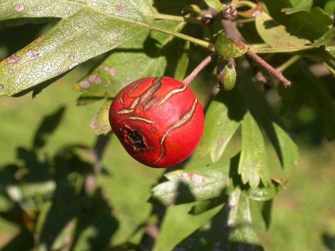 Azzeruolo rosso