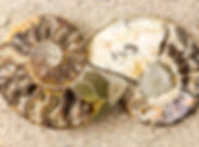 Spiral Ammonite fossil on sand closeup b