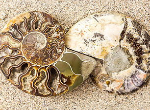 Spiral Ammonite fossil on sand closeup b