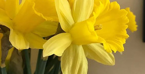 Daffydown-dillys (Daffodils)