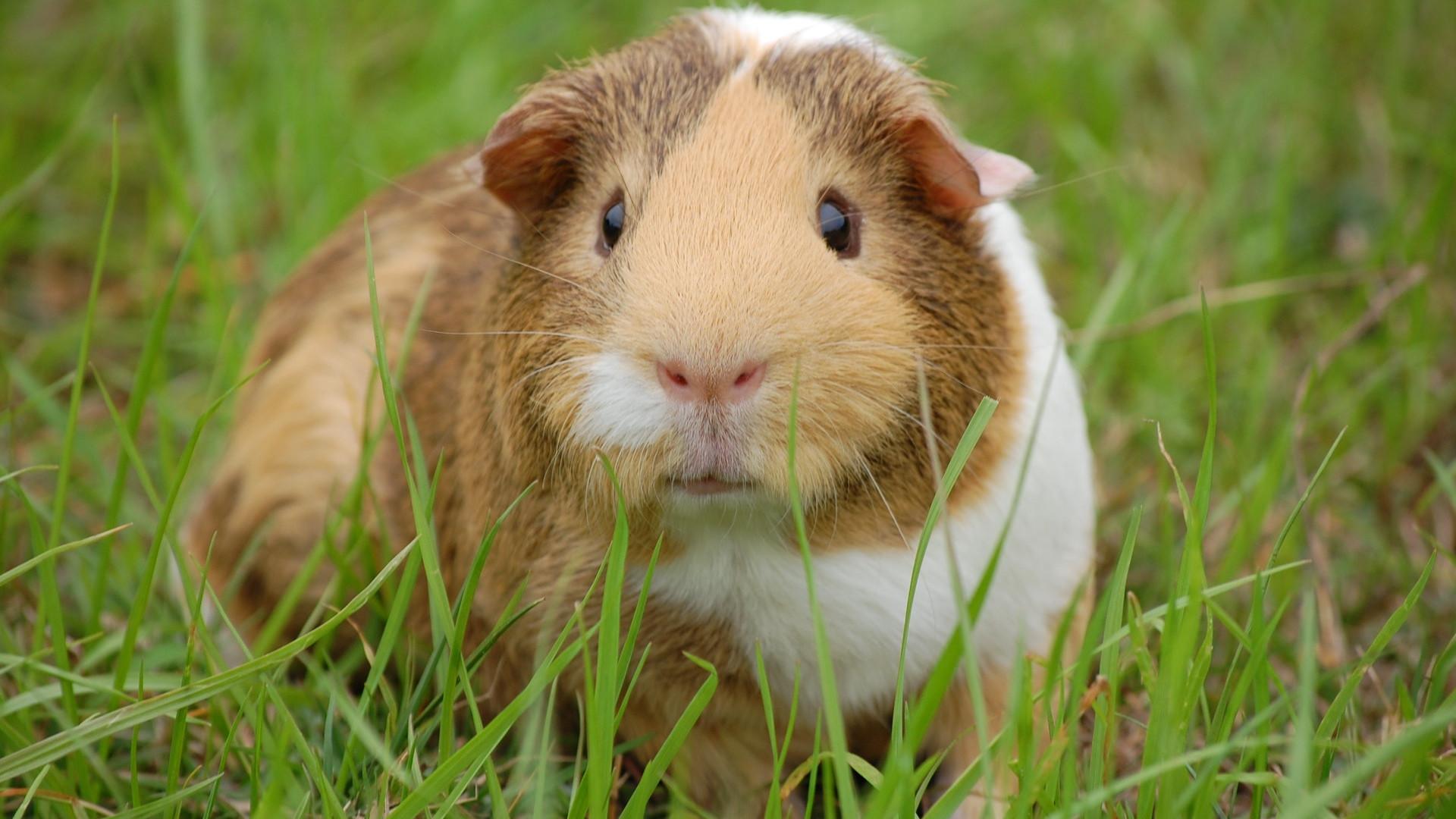 animal-closeup-guinea-pig-60693.jpg