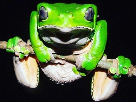 Kambo - Frog Medicine - Nature's Immune booster