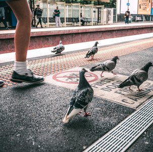 Pigeons Are Funny