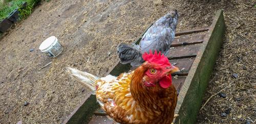 Nos poules.