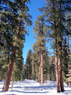 Old Growth Ponderosa Pines