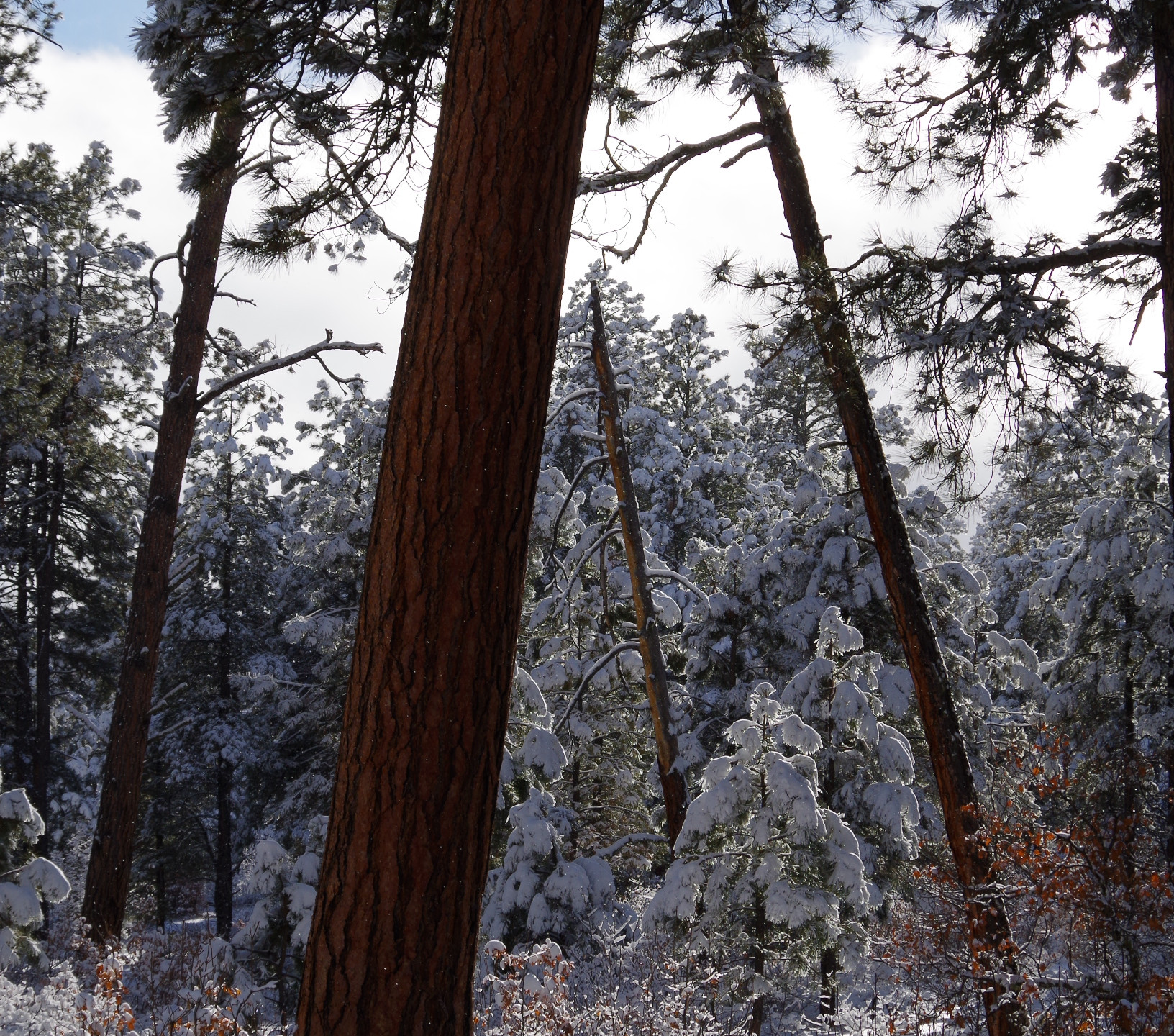 Old growth ponderosa pines along Catamount Trail