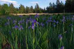 Wild Iris line Round Park