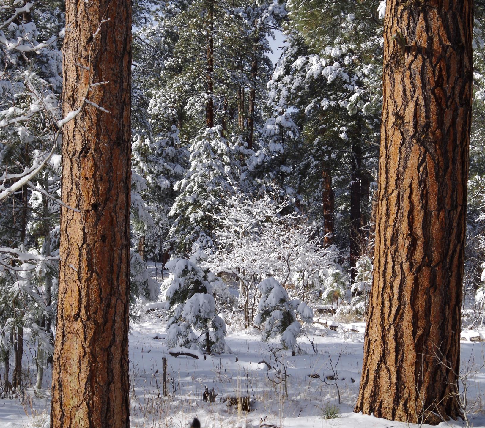 Old growth ponderosa pines in Turkey Springs