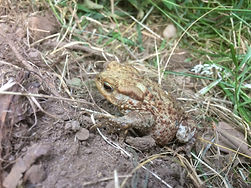 Common Toad - (Bufo bufo)