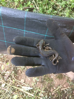 Great crested nwt - (Triturus cristatus)