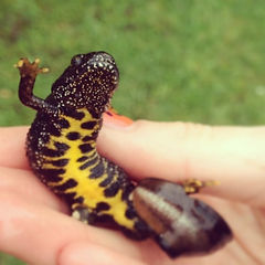 Great crested newt - (Triturus cristatus)