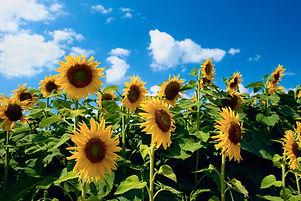website sunflower.jpg