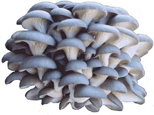 Blue Oyster Mushroom