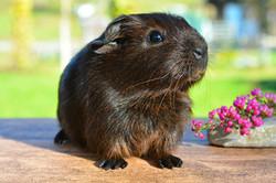 guinea-pig-518266_1920_edited