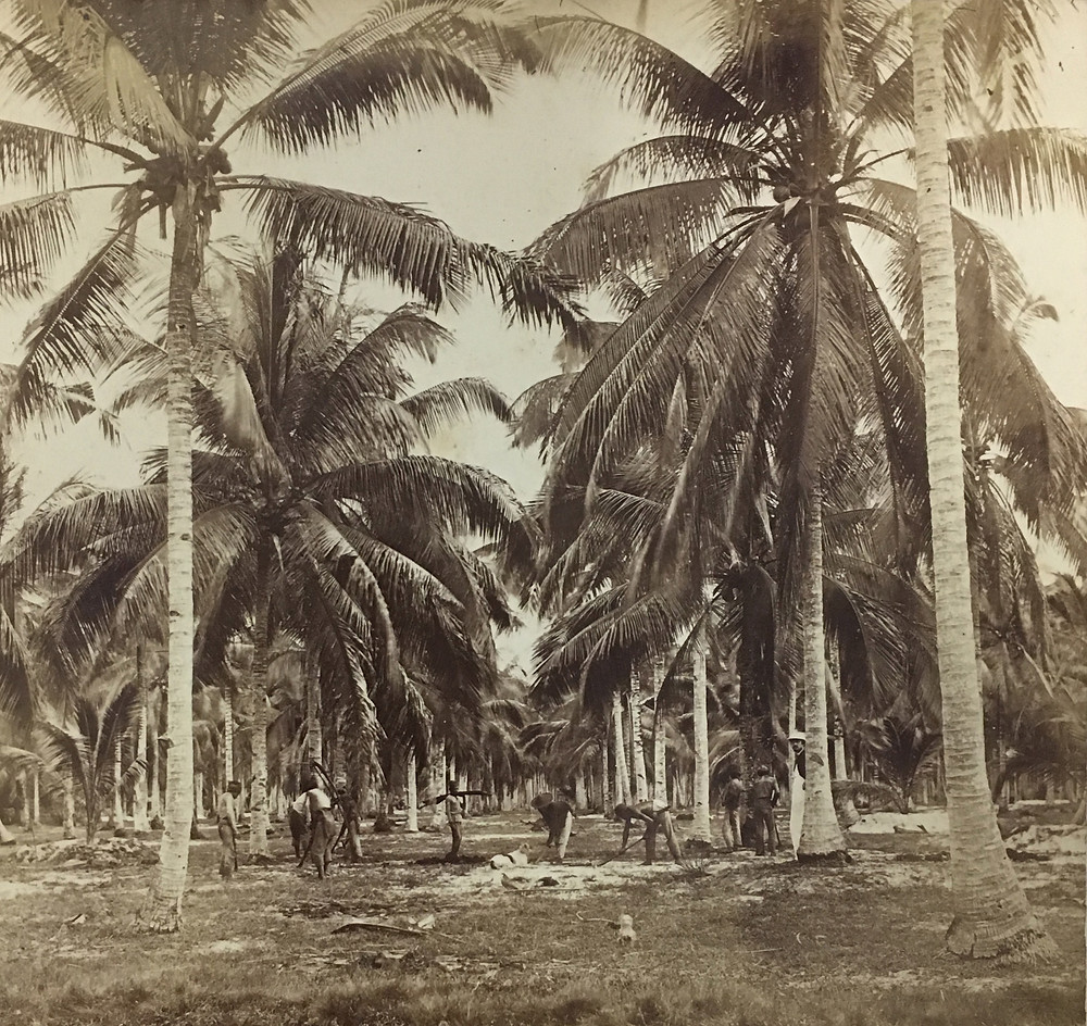 Palm trees in rows into the distance, with workers in foreground.
