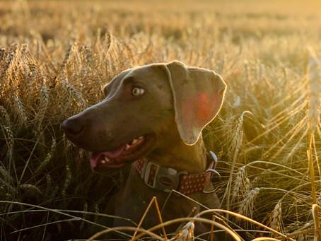 Karma dla psa bez zbóż – czy warto ją wybrać?