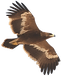 eagle klein.png
