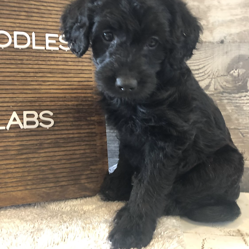 F1 mini labradoodle-female black