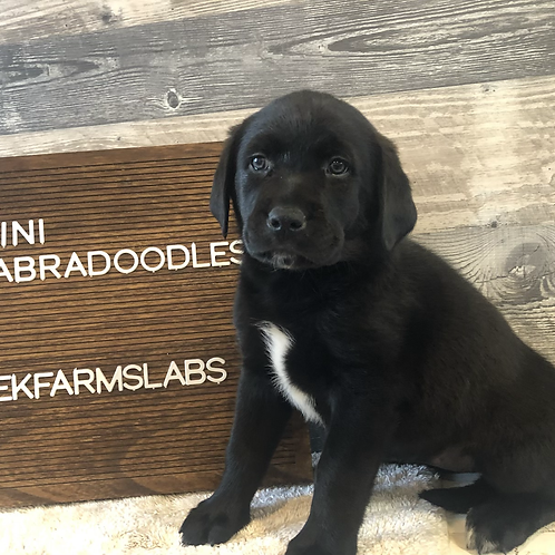 Mini Labradoodle female white chin-Sold pending pick up.