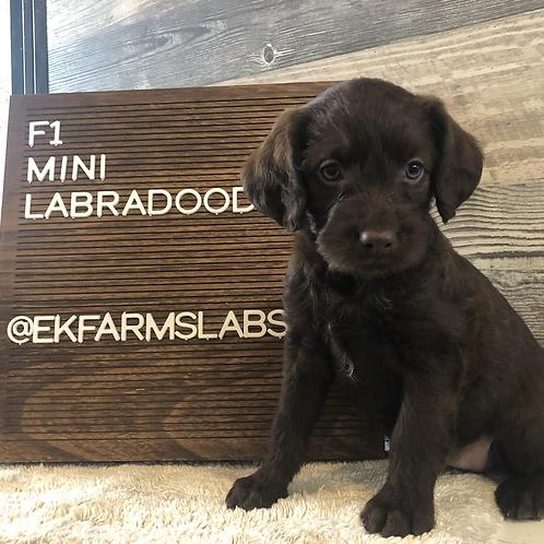 F1 mini labradoodle-female chocolate