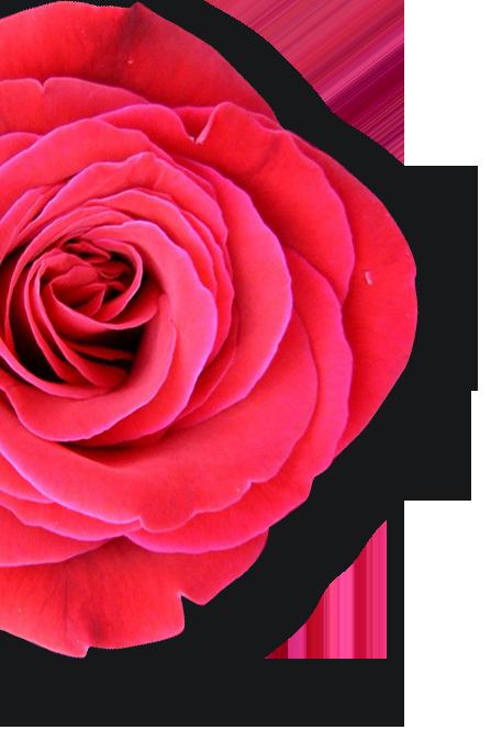 retail-rose.png