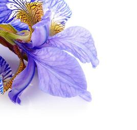 Iris Poudre