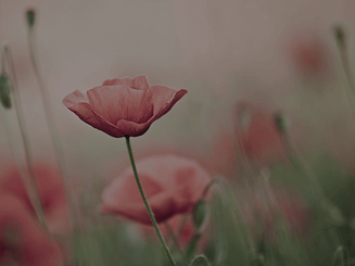 ziedi