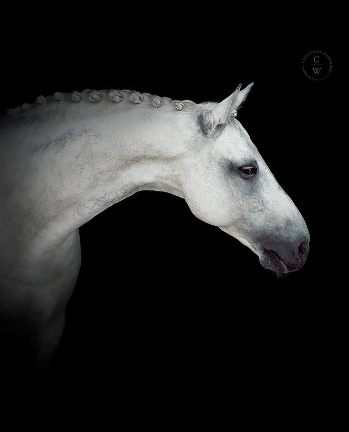 White Horse on black backround