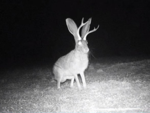 Is it a Rabbit With Horns or Something More?
