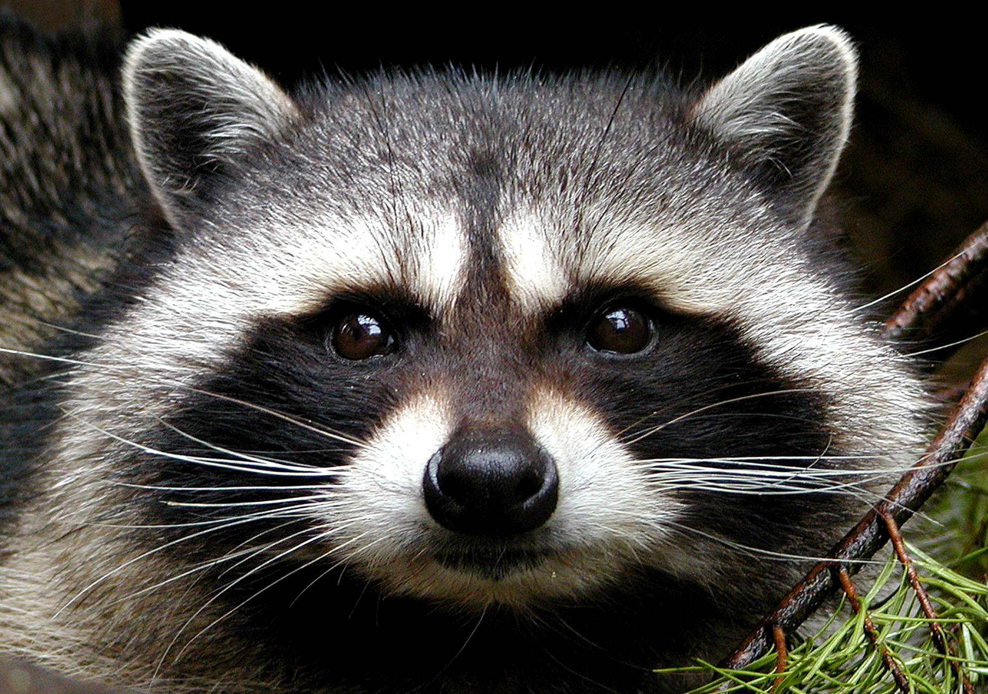 TAG Wildlife Removal Raccoon