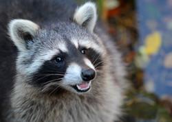 TAG Wildlife Removal Raccoon