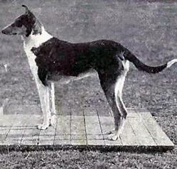Collie_(smooth)_from_1915_JPG.webp