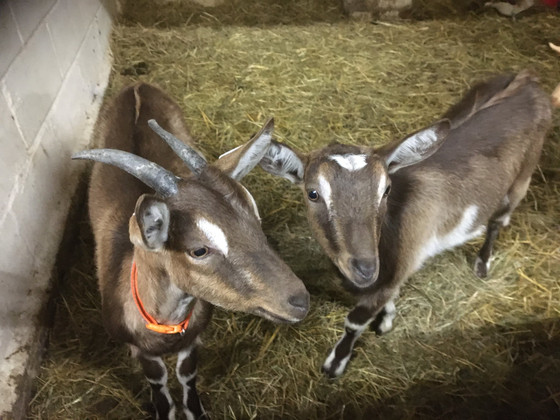 EXCITING GOAT NEWS AHOY!