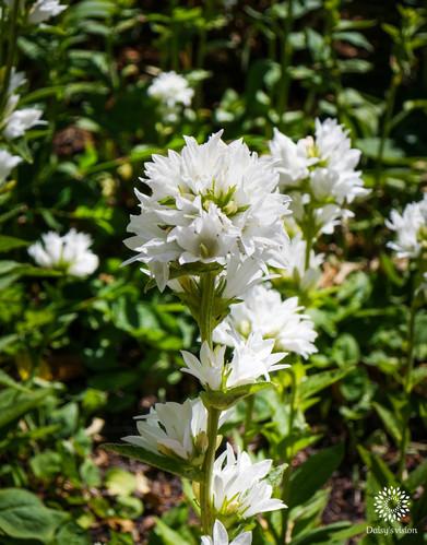 Clustered bellflower
