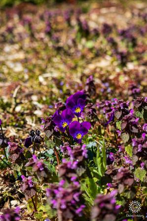 Grouping of Violets