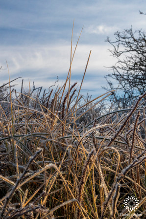 Hoarfrosted grass