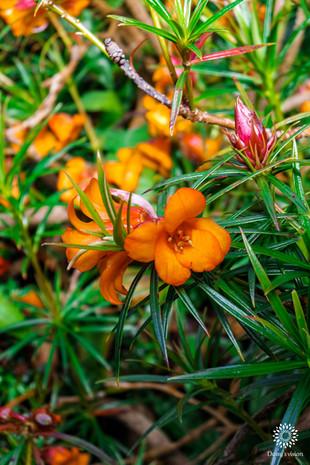 Orange Rhododendron Vireya