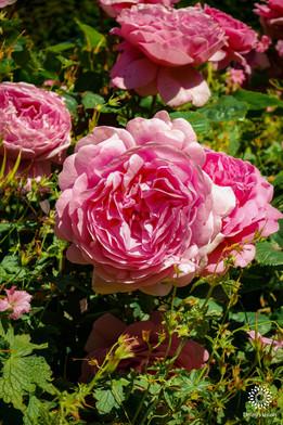 Garden Roses - close up