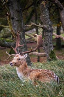 Fallow deer in tall grass 2, Amsterdamse waterleidingduinen, Vogelenzang, The Netherlands