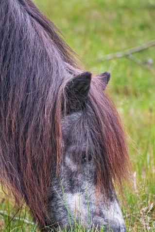 Shetland ponies, National Park Zuid-Kennemerland, Overveen, The Netherlands