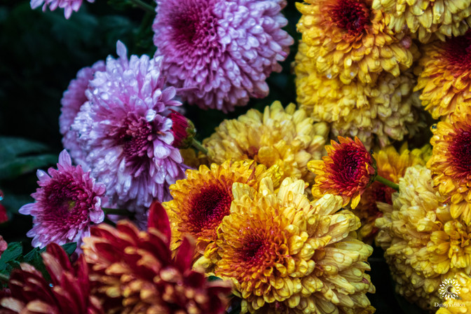 Yellow and pink Dahlias