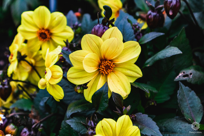 Yellow Dahlia pinnata