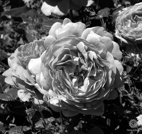 Garden Roses - black & white