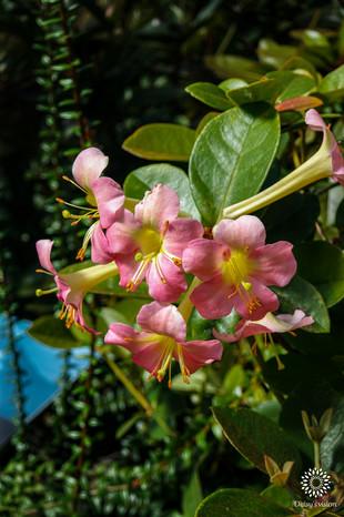 Pink Rhododendron Vireya